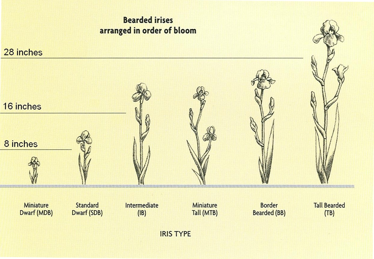 Greater st louis iris society the classifications of bearded irises bearded irises are identified by thick bushy beards on each of the falls lower petals of the blossoms originally most of these were native to central izmirmasajfo