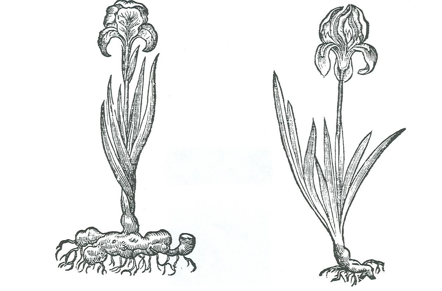 Two 'chamaeirises' from 16th century gardens, the original standard dwarfs.   From Gerard's Herbal of 1597.  Click to enlarge.